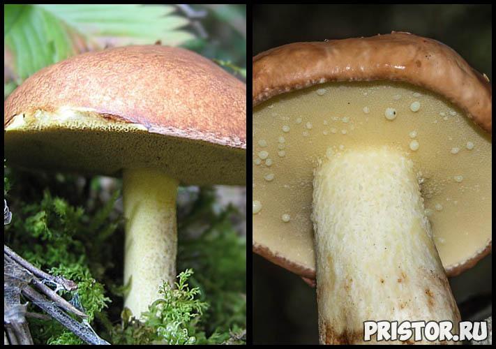Маслята ложные и съедобные - фото, как отличить, описание грибов 4