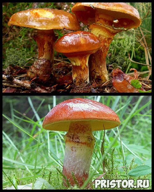 Маслята ложные и съедобные - фото, как отличить, описание грибов 7