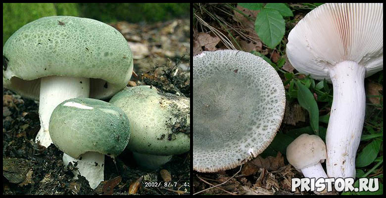 Сыроежки - фото и описание, как отличить ложную сыроежку и съедобную 1
