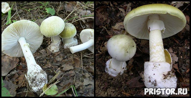 Сыроежки - фото и описание, как отличить ложную сыроежку и съедобную 7