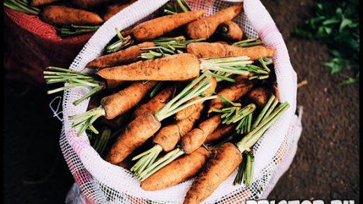 Как выращивать морковь в открытом грунте - основные советы и уход 4