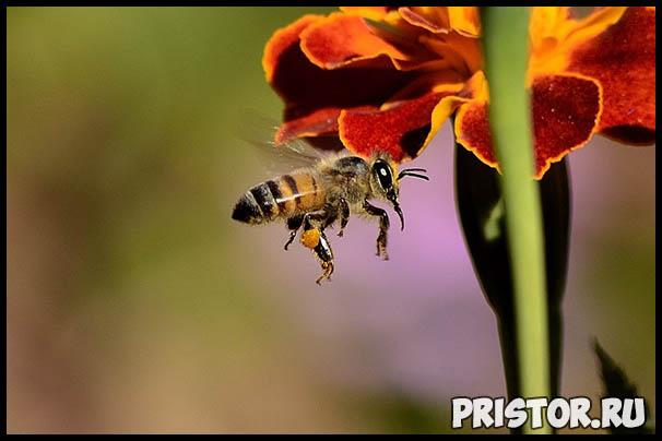 Пчелы наши друзья или враги - интересная информация про пчел 2