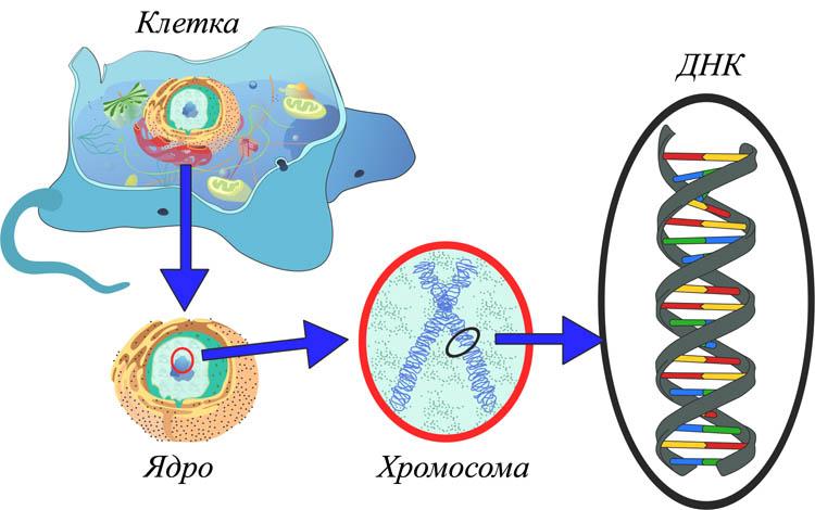 Сравнительная характеристика РНК и ДНК - основные функции, строение 1