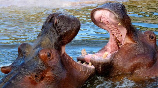 Стадо бегемотов вступило в потасовку с крокодилом - новости 1