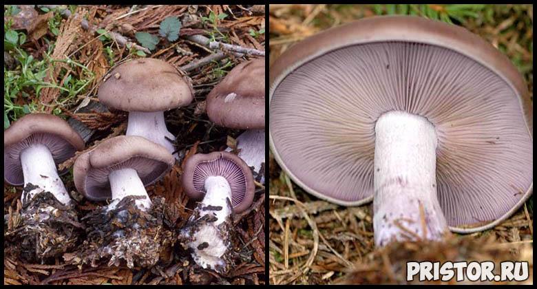 Съедобные грибы рядовки - фото и описание, как выглядят рядовки 1