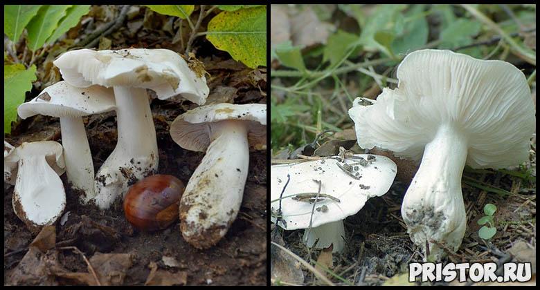 Съедобные грибы рядовки - фото и описание, как выглядят рядовки 4