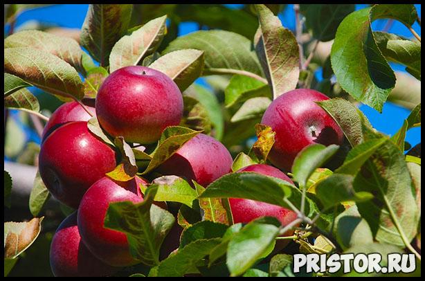 Как выбрать правильное яблоко и хранить их - основные рекомендации 3