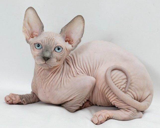Чем отличается Канадский сфинкс от Донского сфинкса - породы кошек 1