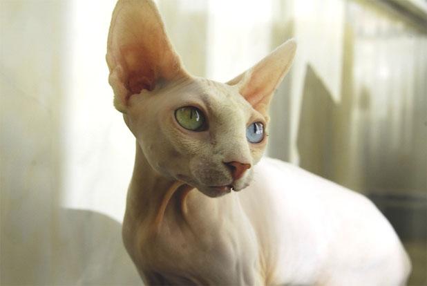 Чем отличается Канадский сфинкс от Донского сфинкса - породы кошек 3