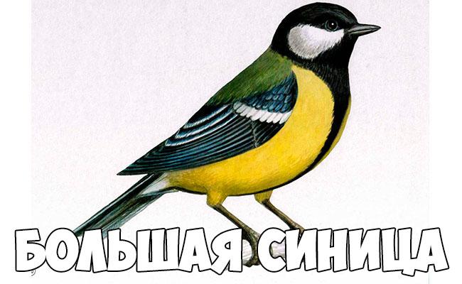 Зимующие птицы картинки для детей - самые интересные и красивые 10