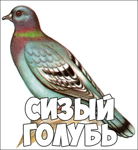 Зимующие птицы картинки для детей - самые интересные и красивые 14