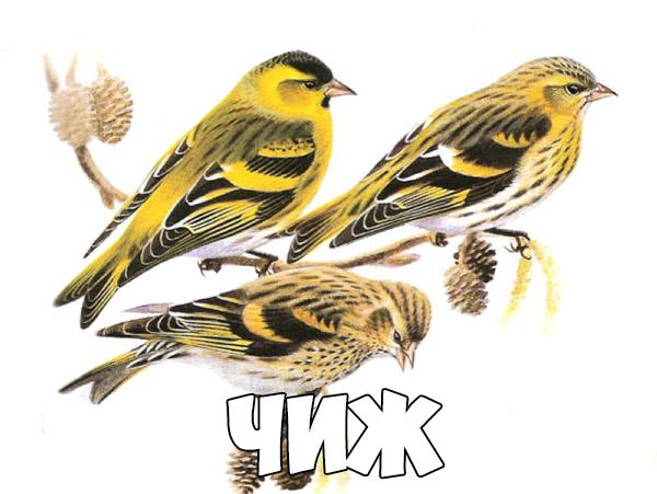 Зимующие птицы картинки для детей - самые интересные и красивые 15