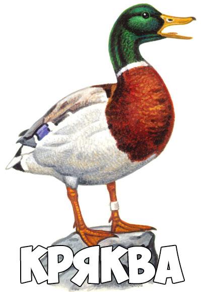 Зимующие птицы картинки для детей - самые интересные и красивые 17