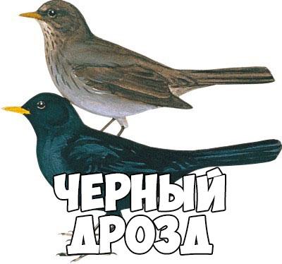 Зимующие птицы картинки для детей - самые интересные и красивые 18