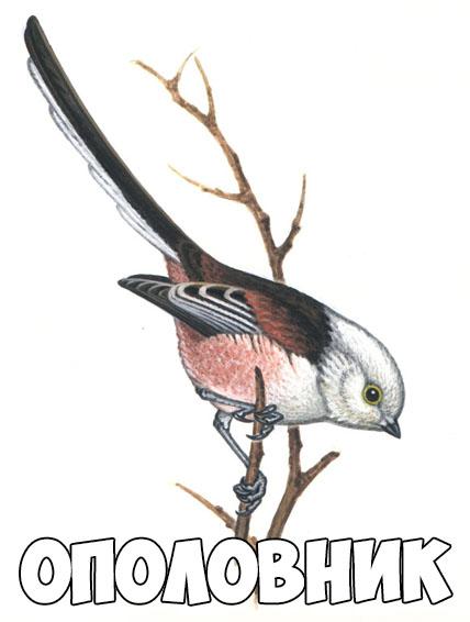 Зимующие птицы картинки для детей - самые интересные и красивые 20