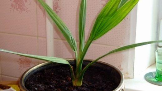 Как вырастить финиковую пальму из косточки в домашних условиях - секреты 1