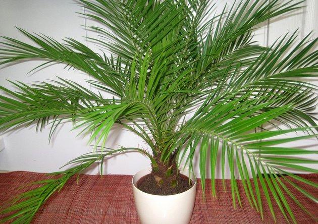 Как вырастить финиковую пальму из косточки в домашних условиях - секреты 2