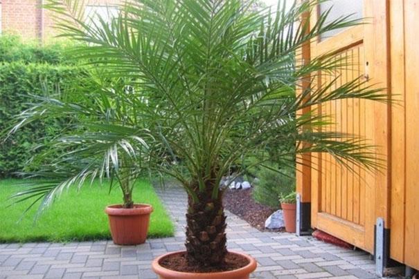 Как вырастить финиковую пальму из косточки в домашних условиях - секреты 3