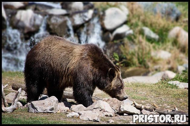 Как спастись от медведя в лесу Как необходимо вести себя 3