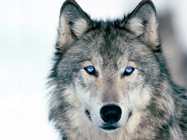 Красивые и прикольные картинки волка на аватарку - скачать бесплатно 3