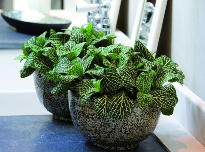 Тенелюбивые комнатные растения - для тех у кого дома плохое освещение 10