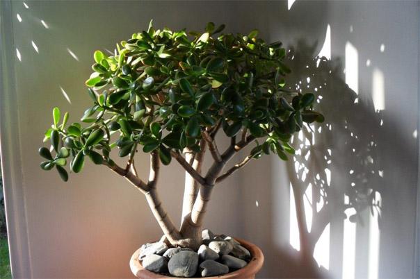 Тенелюбивые комнатные растения - для тех у кого дома плохое освещение 12