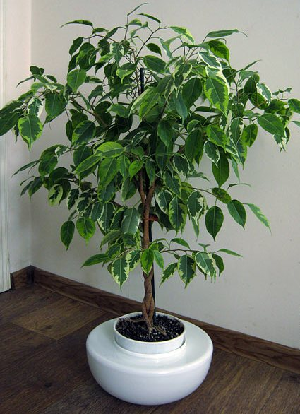 Тенелюбивые комнатные растения - для тех у кого дома плохое освещение 13