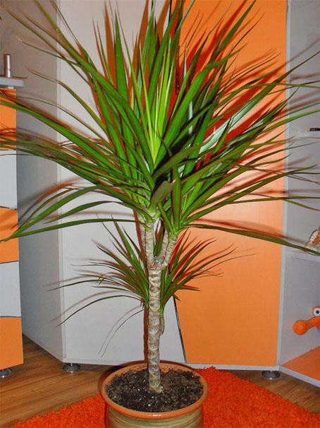 Тенелюбивые комнатные растения - для тех у кого дома плохое освещение 14