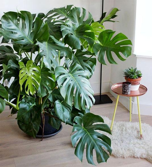Тенелюбивые комнатные растения - для тех у кого дома плохое освещение 15
