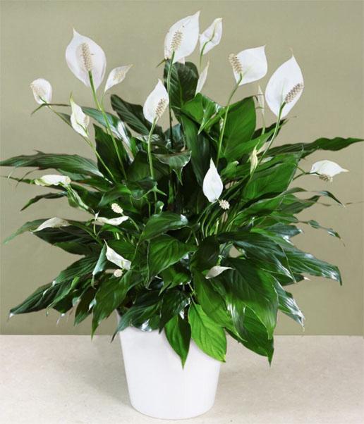 Тенелюбивые комнатные растения - для тех у кого дома плохое освещение 2