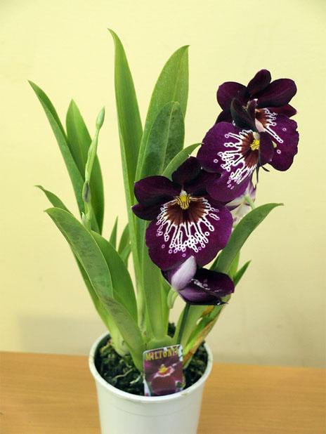 Тенелюбивые комнатные растения - для тех у кого дома плохое освещение 8