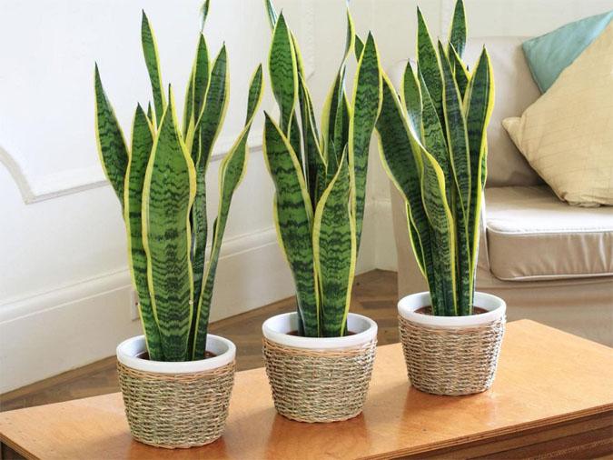 Тенелюбивые комнатные растения - для тех у кого дома плохое освещение 9