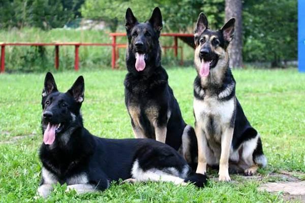 Дрессировка собак в домашних условиях - простые правила и приемы 1