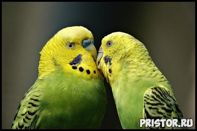 Как научить говорить волнистого попугая - эффективные способы и советы 1