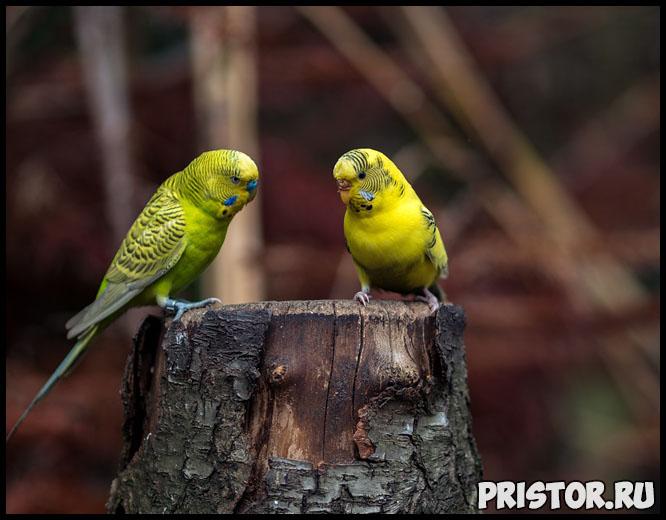 Как научить говорить волнистого попугая - эффективные способы и советы 5