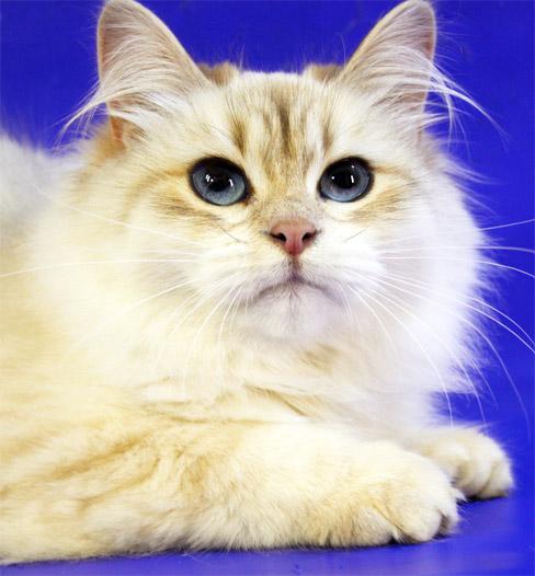 Как ухаживать за невской маскарадной кошкой - основные правила 1