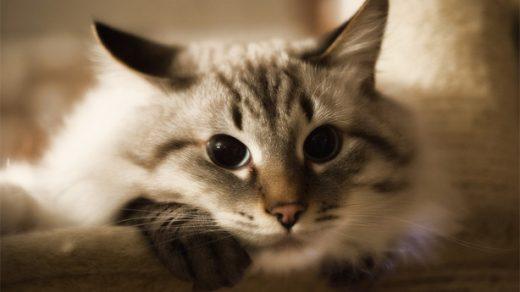 Как ухаживать за невской маскарадной кошкой - основные правила 2