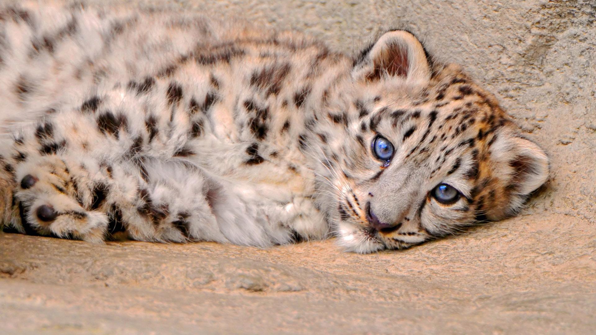 Big Cat Cubs Wallpaper