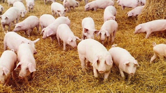 Свиноводство в домашних условиях для начинающих - основные правила 2