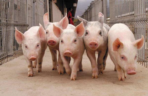 Свиноводство в домашних условиях для начинающих - основные правила 3