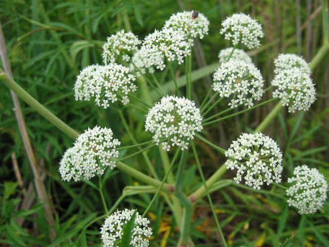 Топ-8 самых ядовитых растений на нашей планете - интересное в мире 3
