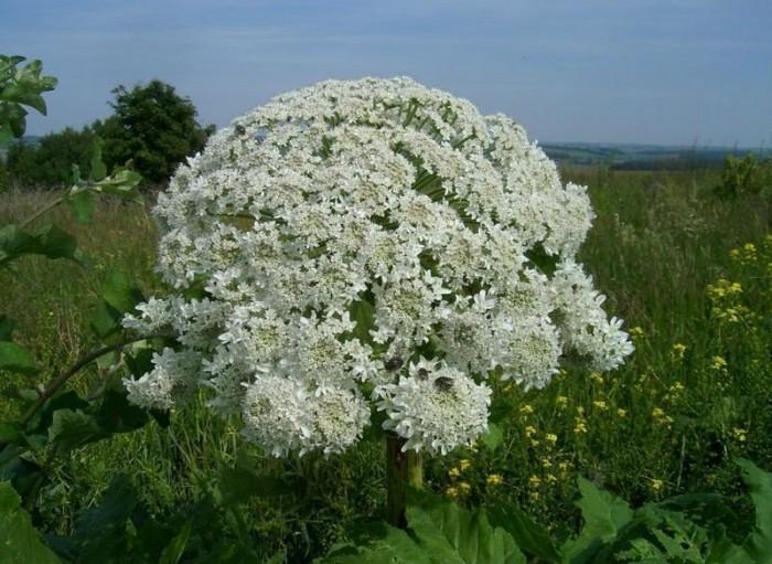 Топ-8 самых ядовитых растений на нашей планете - интересное в мире 5