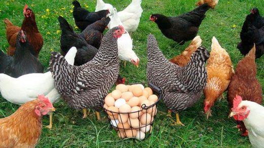 Как выбрать кур несушек при покупке на рынке - главные правила 2