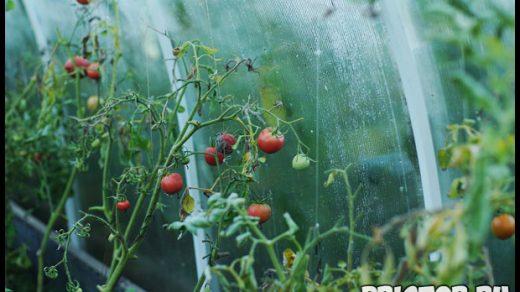 Как правильно высадить рассаду томатов в теплице - главные правила 1