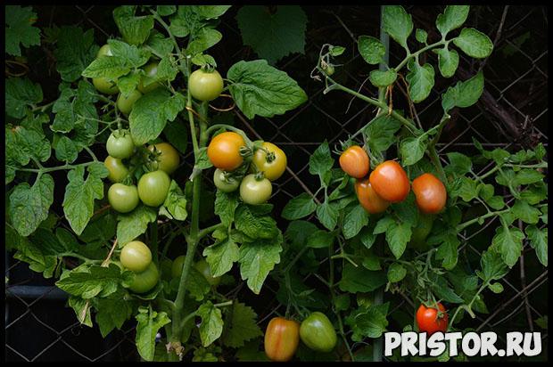 Как правильно высадить рассаду томатов в теплице - главные правила 2