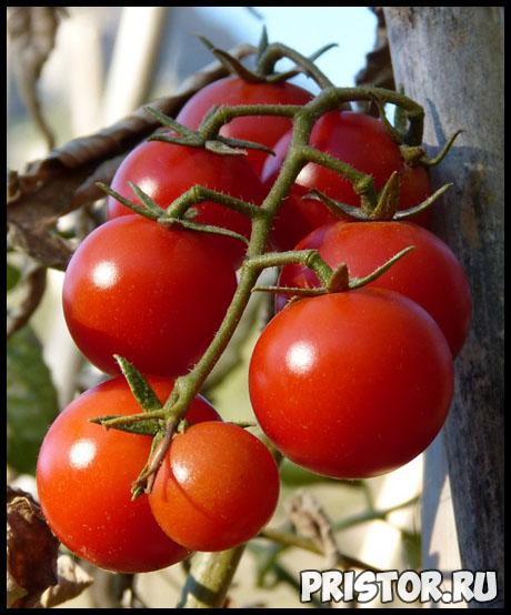 Как правильно высадить рассаду томатов в теплице - главные правила 3