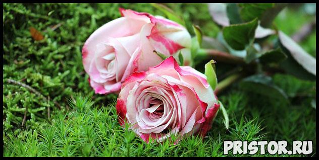 Можно ли вырастить розу из семян, купленных в интернет магазине 1
