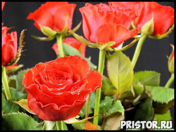 Можно ли вырастить розу из семян, купленных в интернет магазине 3