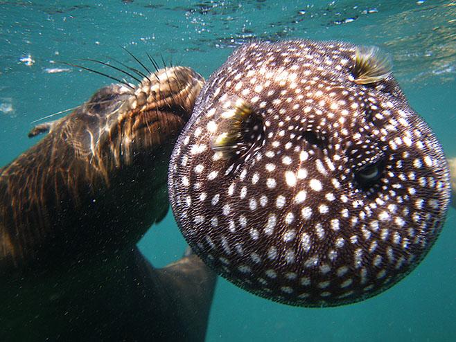 Морские слоны фотографии (лат. Mirounga) - самые красивые картинки 10