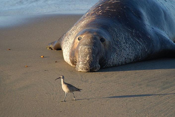 Морские слоны фотографии (лат. Mirounga) - самые красивые картинки 11